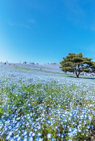青い花畑が広がる風景