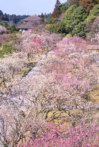 一面に咲く満開の梅