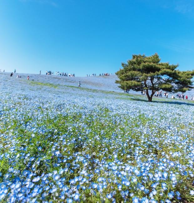 春のひたちなか海浜公園