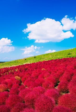 赤い花が咲き誇る丘